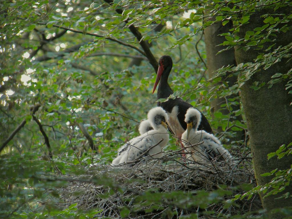 Чёрный аист (лат. Ciconia nigra)