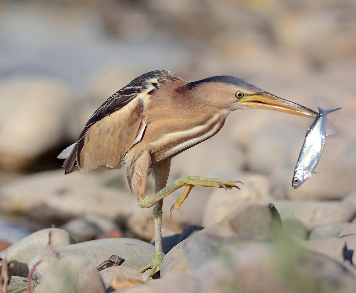 Малая выпь (лат. Ixobrychus minutus)