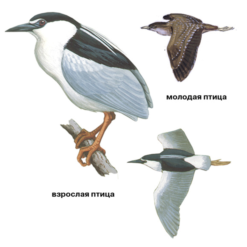 Кваква (лат. Nycticorax nycticorax)