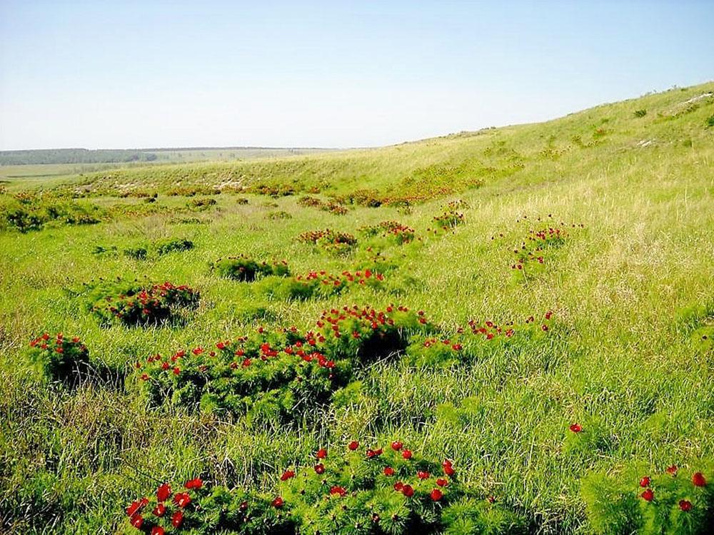 Долина диких пионов