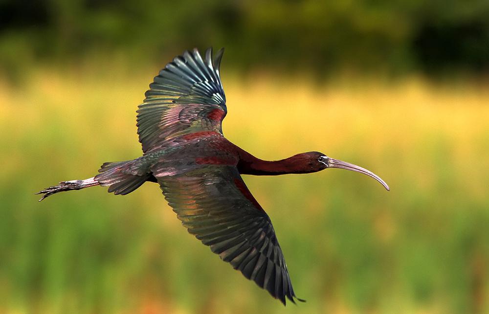 Каравайка (лат. Plegadis falcinellus)