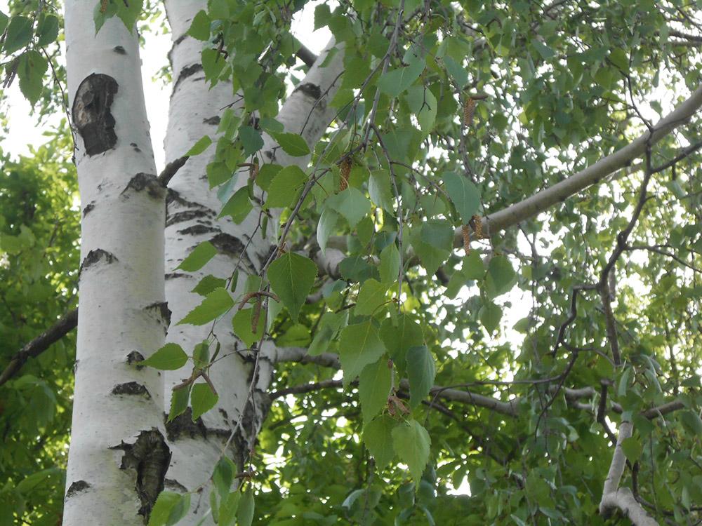 Берёза пушистая (лат. Bétula pubéscens)