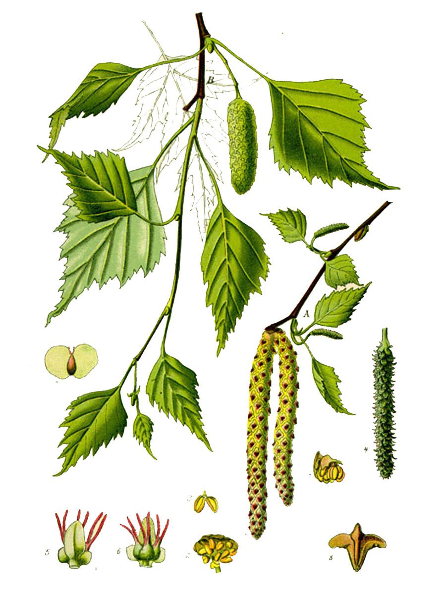 Берёза повислая (лат. Bétula péndula)