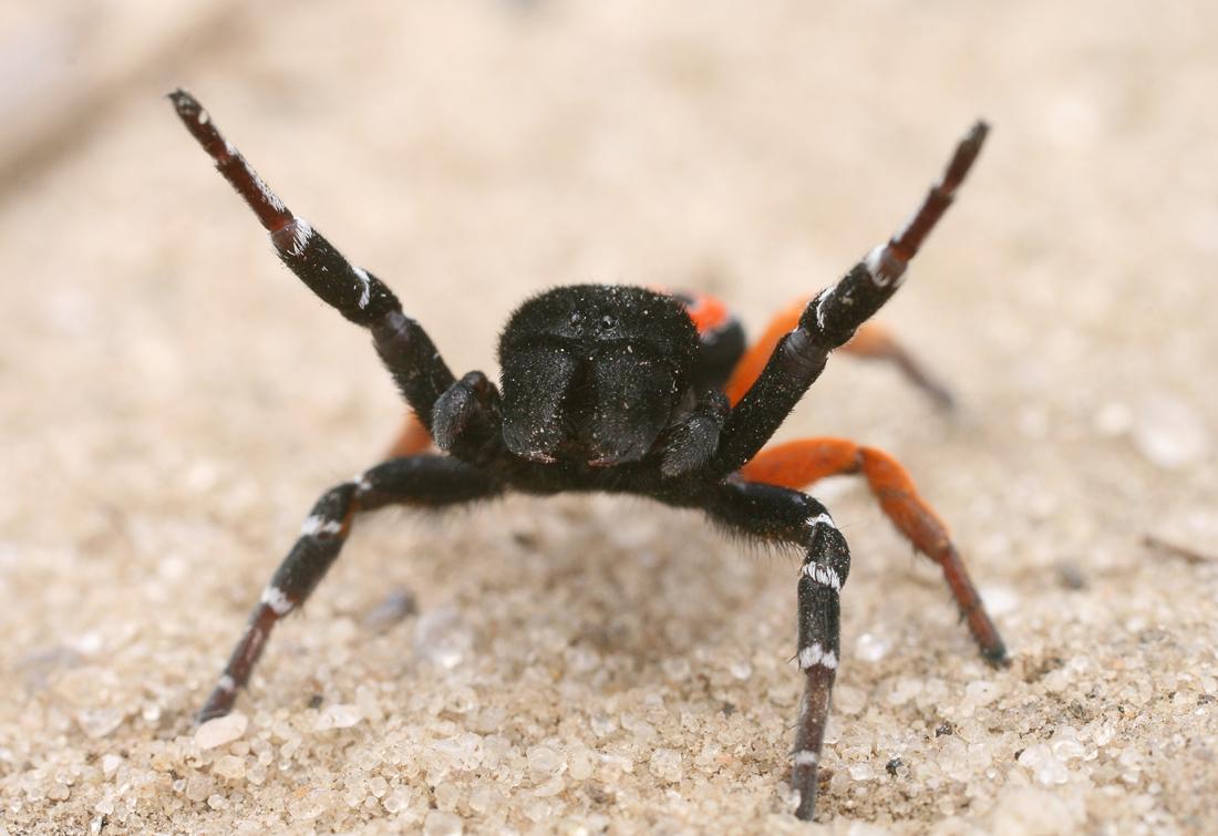 Черный эрезус (Eresus kollari)