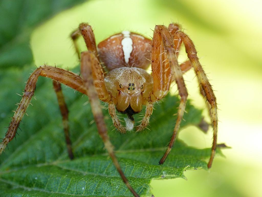Обыкновенный крестовик (лат. Araneus diadematus)