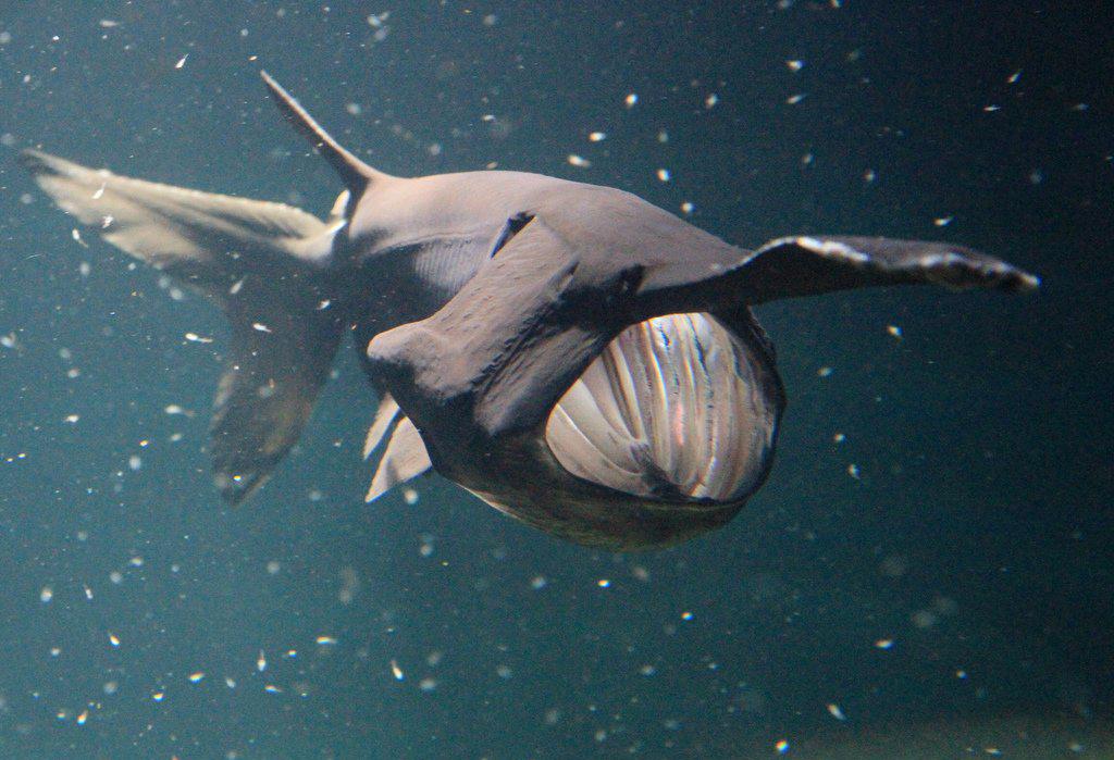 Веслонос (лат. Polyodon spathula)