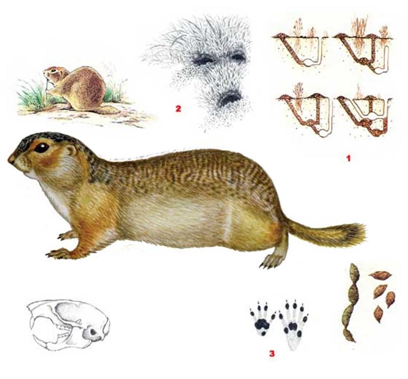 Суслик большой (лат. Spermophilus major)