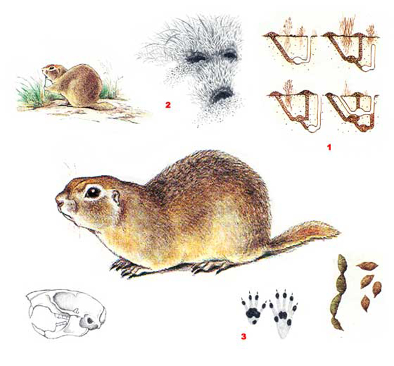Суслик малый (лат. Spermophilus pygmaeus)
