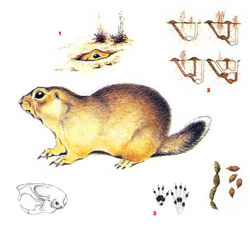 Суслик жёлтый(лат. Spermophilus fulvus)