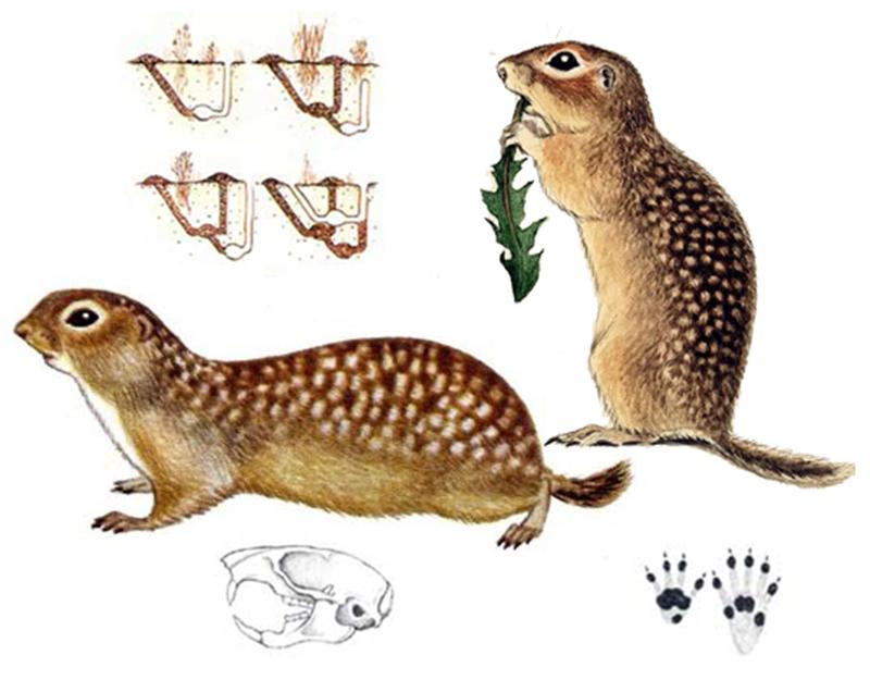 Суслик крапчатый (лат. Spermophilus suslicus)