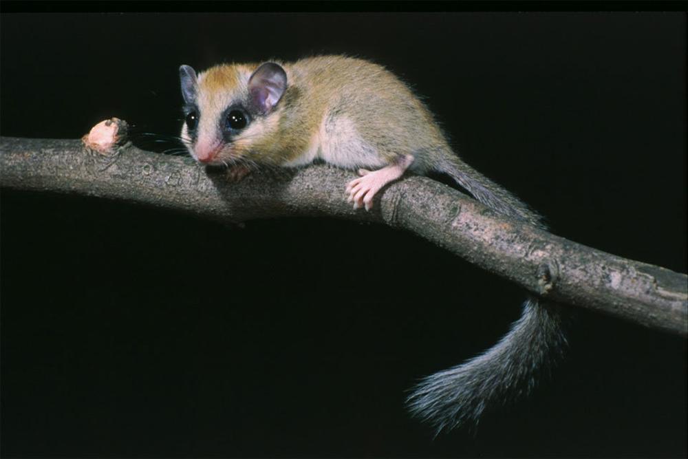 Соня лесная (лат. Dryomys nitedula)