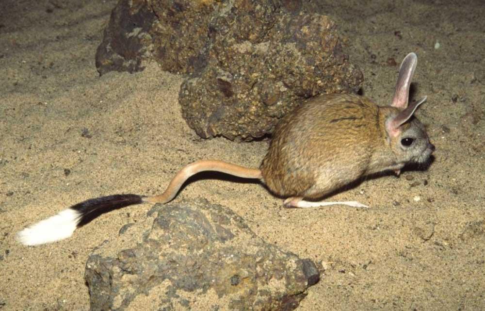 Тушканчик большой, или земляной заяц (лат. Allactaga major)