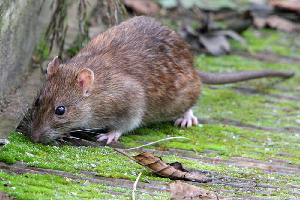 Крыса серая (лат. Rattus norvegicus)