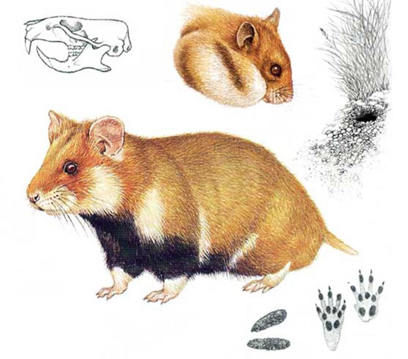Хомяк обыкновенный (лат. Cricetus cricetus)