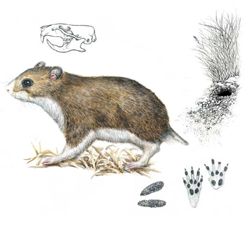 Хомячок Эверсманна (лат. Allocricetulus eversmanni)