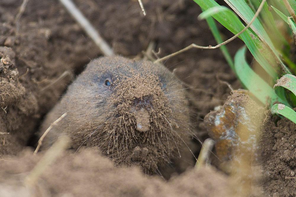 Слепушонка обыкновенная (лат. Ellobius talpinus)