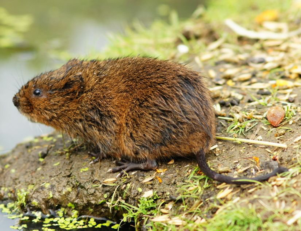 Полёвка водяная или водяная крыса (лат. Arvicola amphibius)