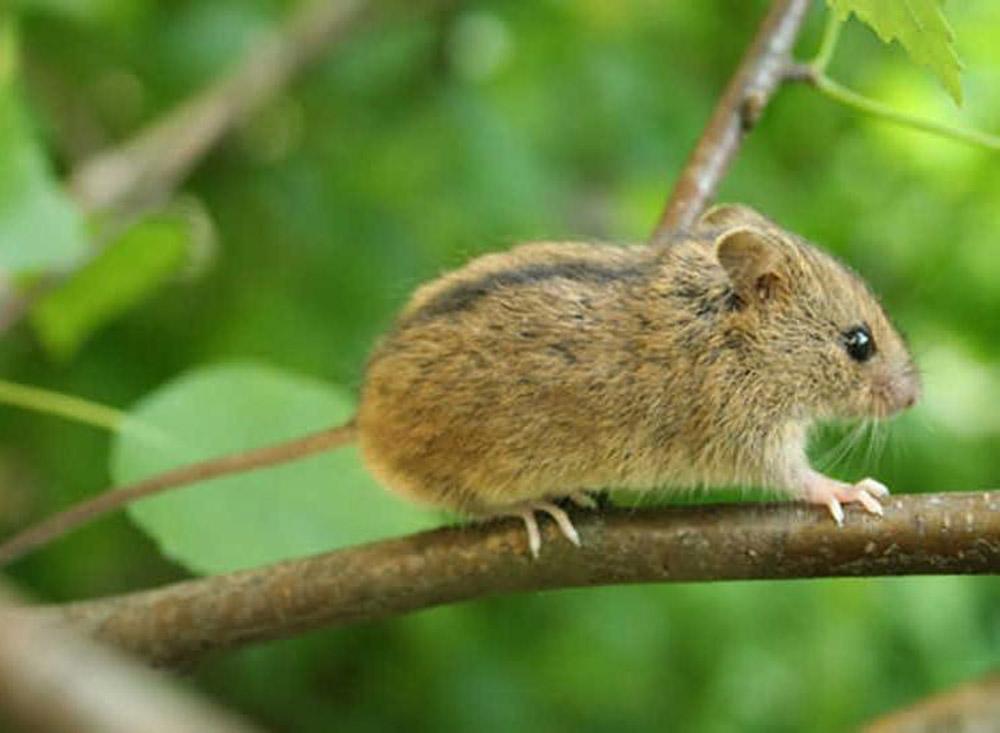 Мышовка лесная (лат. Sicista betulina)