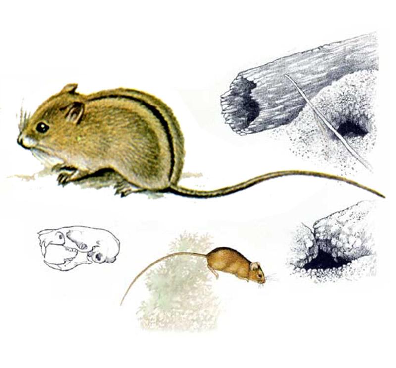 Мышовка степная (лат. Sicista subtilis)