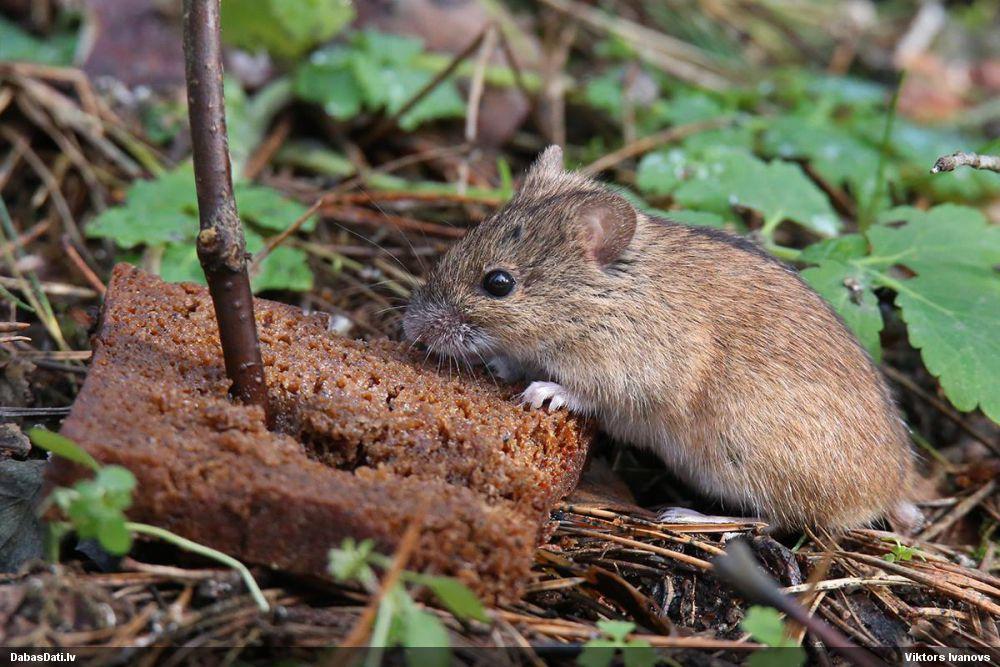 Мышь полевая (лат. Apodemus agrarius)