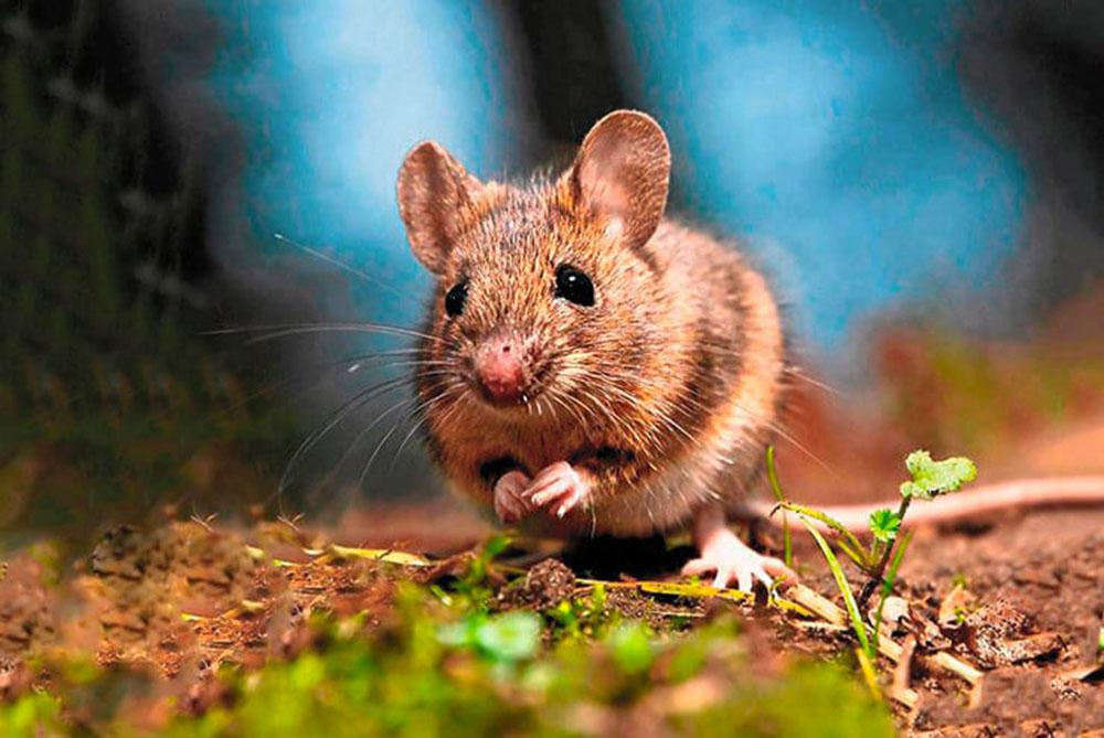 Мышь домовая (лат. Mus musculus)