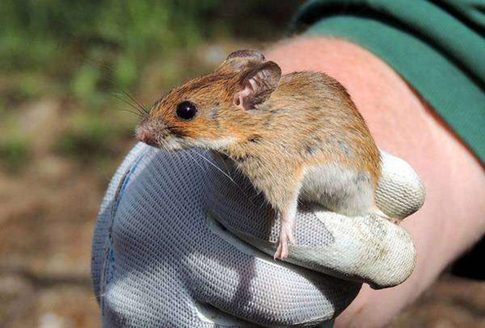 Мышь лесная желтогорлая (лат. Apodemus flavicollis)