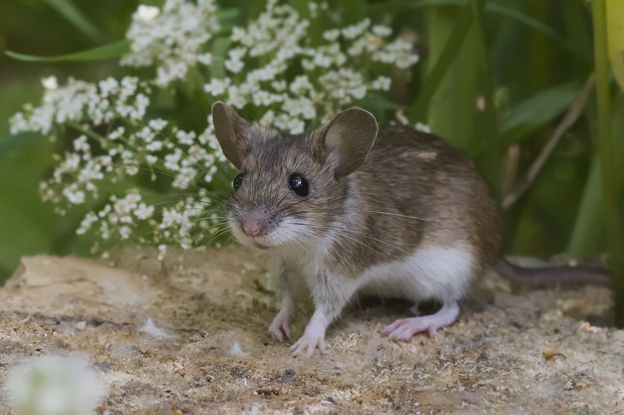 Мышь малая лесная (лат. Apodemus uralensis)