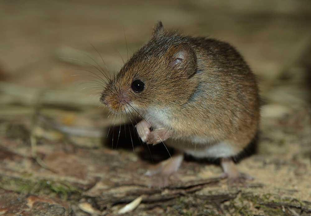 Мышь-малютка (лат. Micromys minutus)