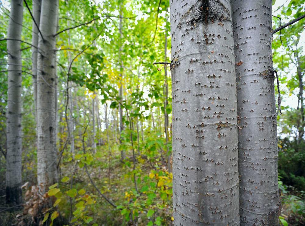 Осина обыкновенная (лат. Populus tremula)