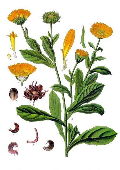 Календула лекарственная (лат. Caléndula officinális)