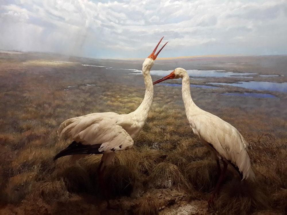 Стерх или журавль белый (лат. Grus leucogeranus)