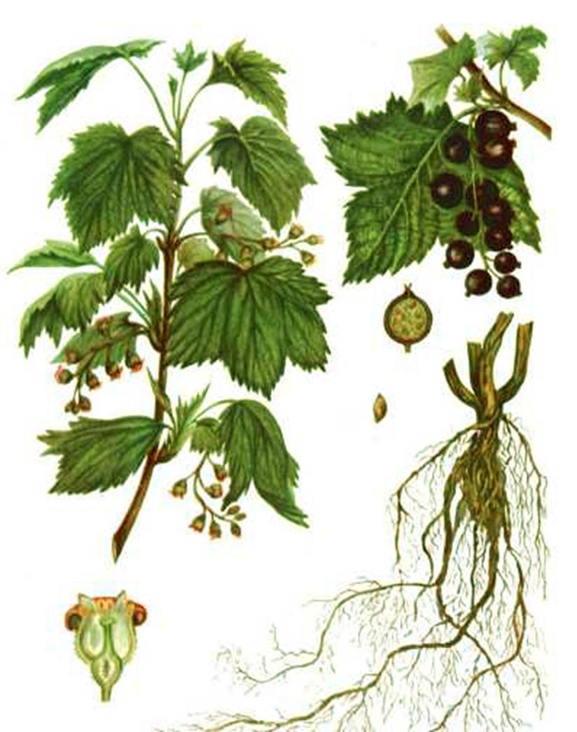Смородина золотистая, или репис (лат. Ríbes nígrum)