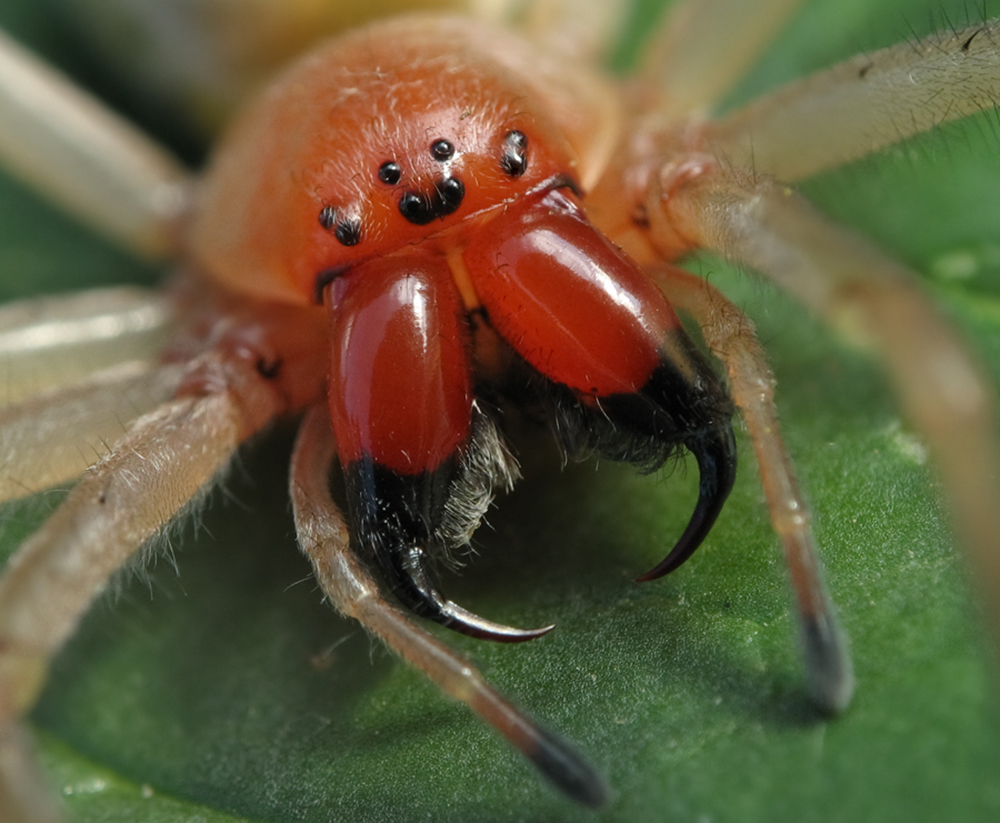 Желтосумный колющий паук (лат. Cheiracanthium punctorium)