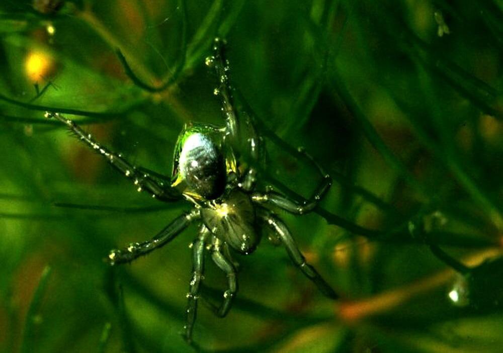 Паук-серебрянка (Argyroneta aquatica)