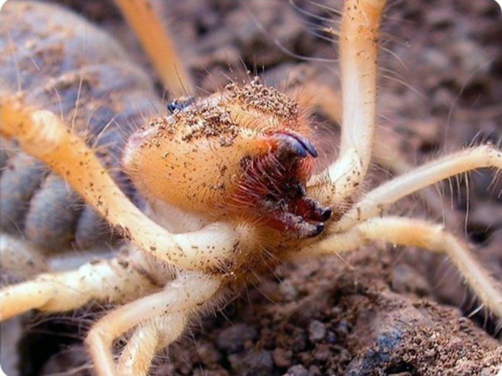 Сольпуга, или фаланга (лат. Galeodes araneoides)