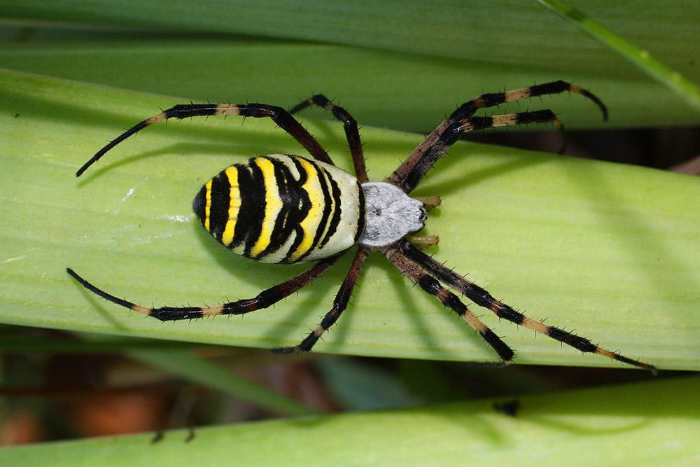 Паук-оса (лат. Argiope bruennichi)