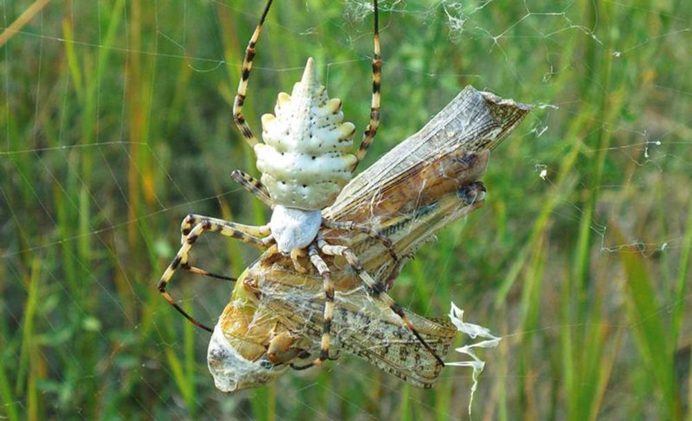 Кругопряд лобата (Agriope lobata)