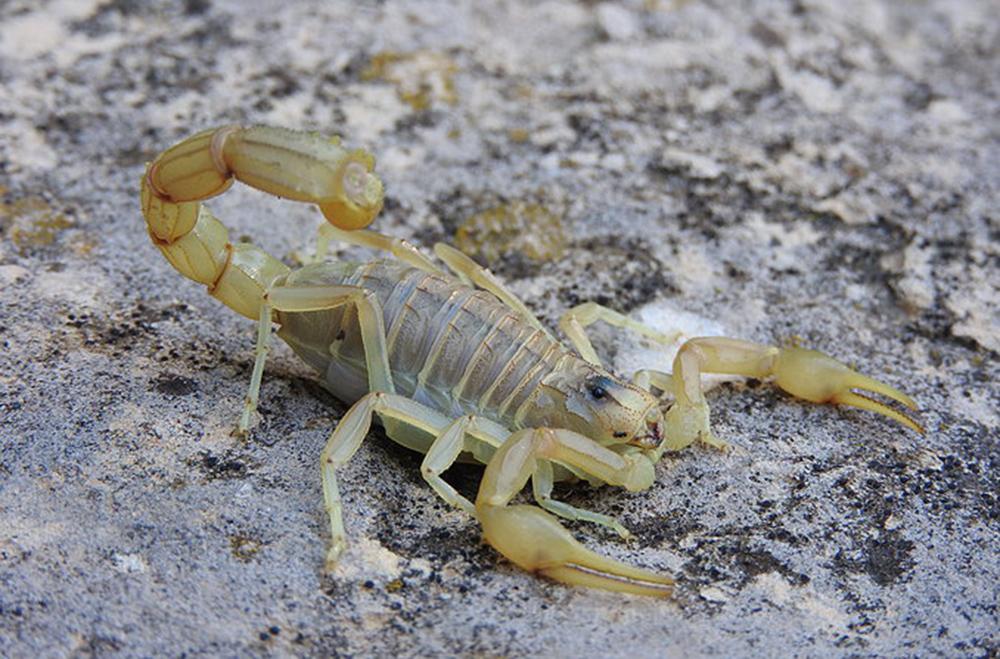 Скорпион средиземноморский (Buthus occitanus)