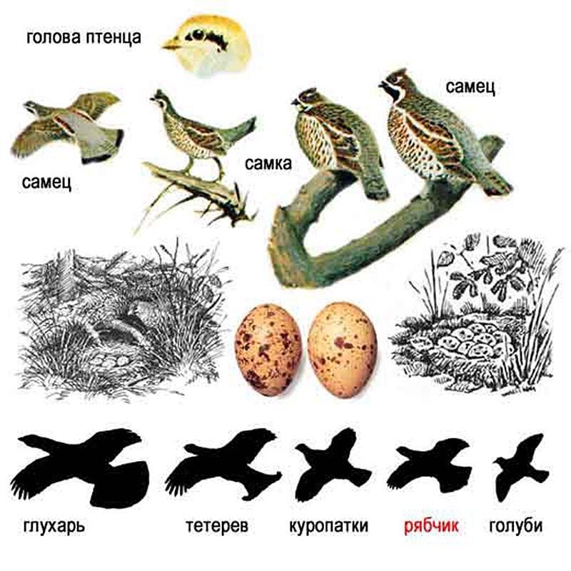 Рябчик (лат. Tetrastes bonasia)