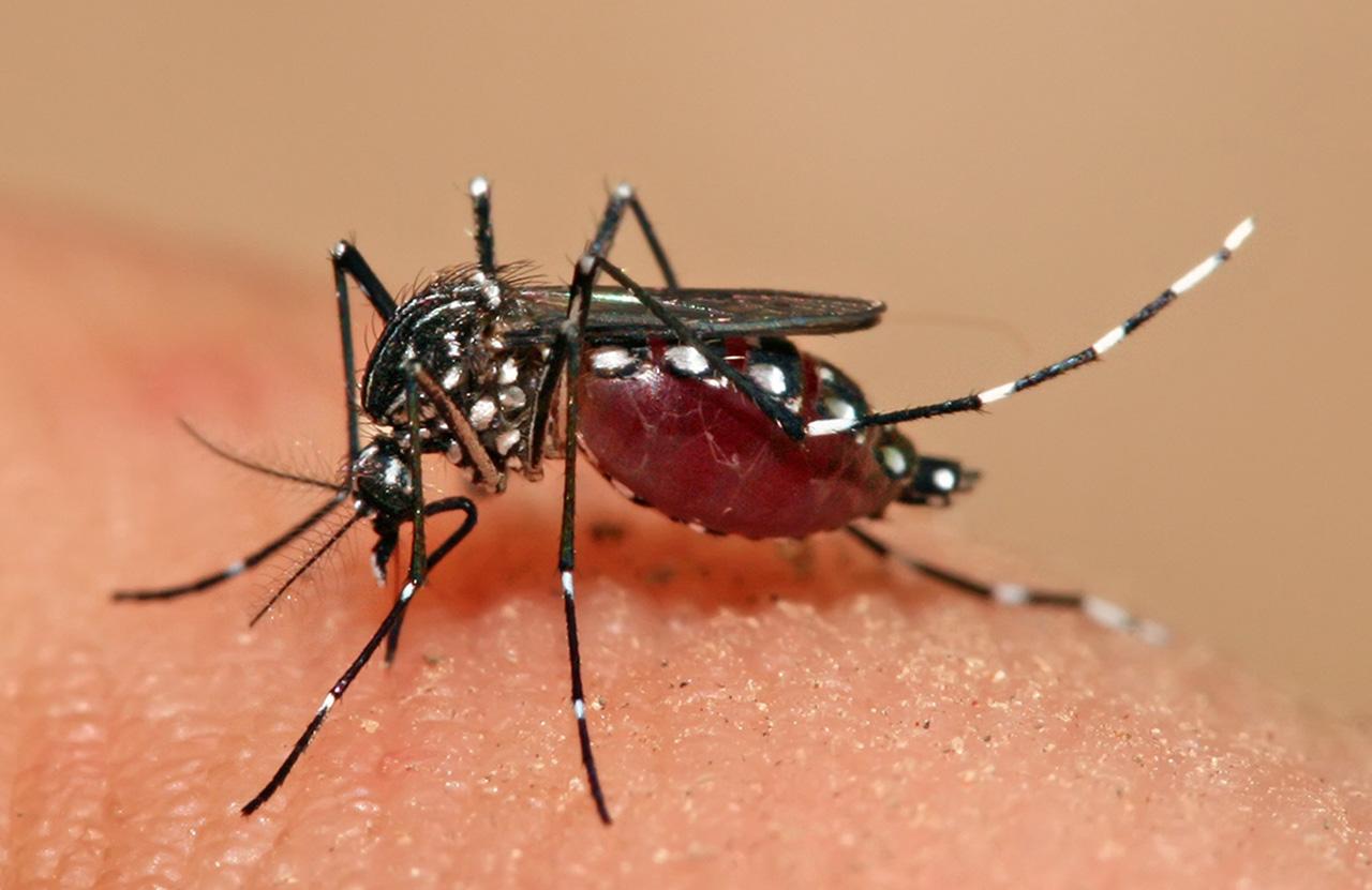 Комар жёлтолихорадочный  (лат. Aedes aegypti)