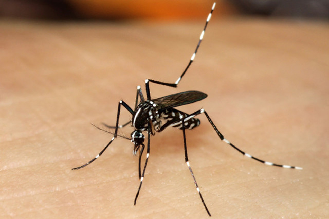 Азиатский тигровый комар (лат. Aedes albopictus)