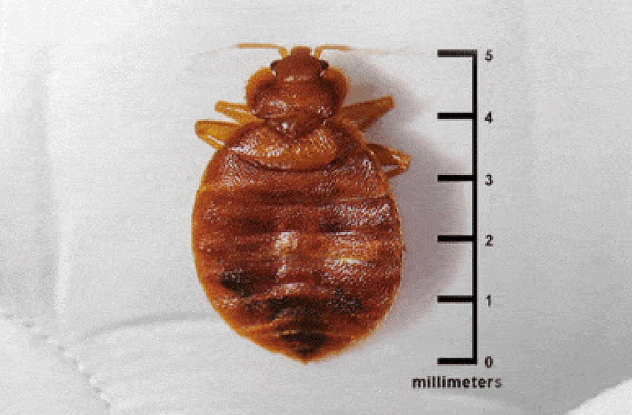 Постельный клоп (лат. Cimex lectularius)