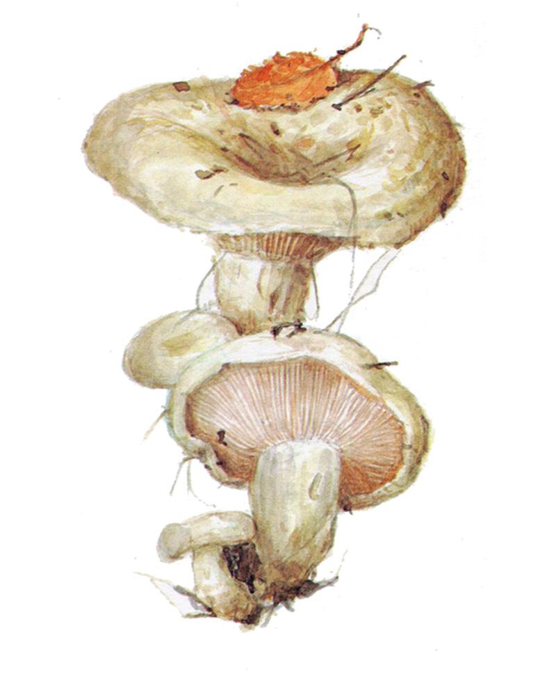 Груздь осиновый (лат. Lactarius controversus)