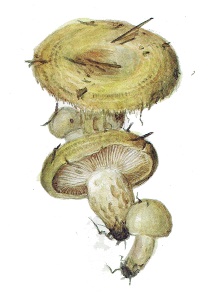 Груздь жёлтый (лат. Lactárius scrobiculátus)