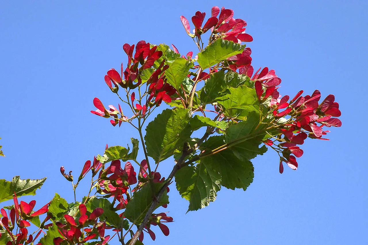 Клён татарский, или Черноклён (лат. Acer tataricum)