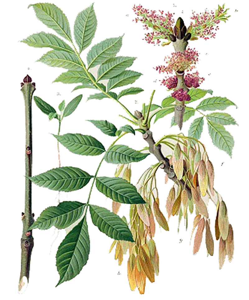 Ясень обыкновенный  (лат. Fraxinus excelsior)