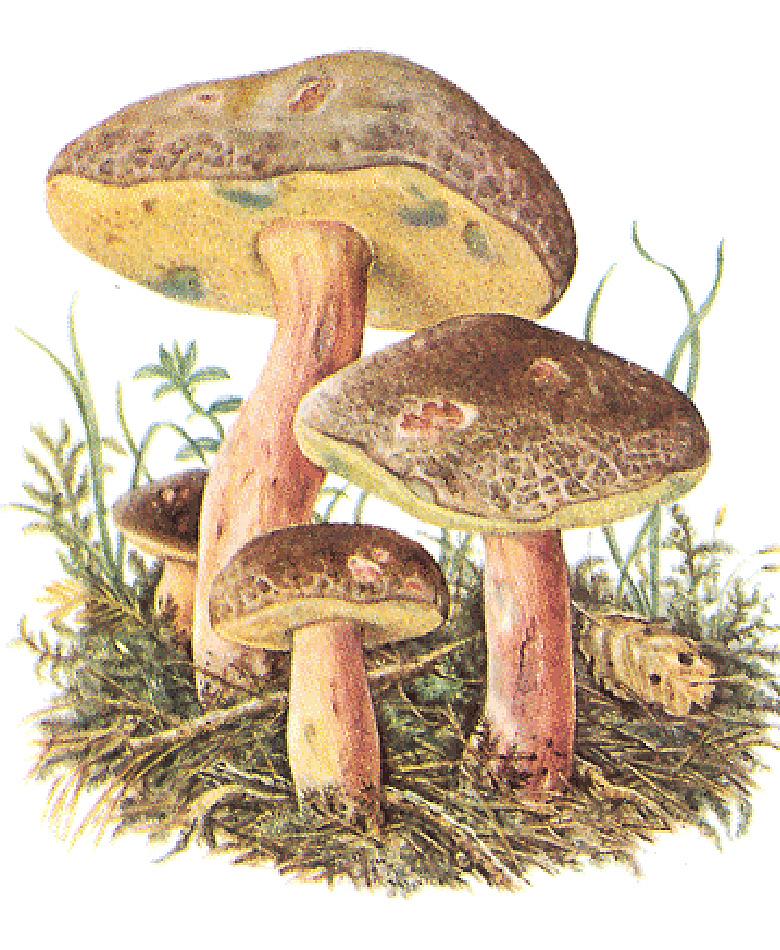 Моховик пестрый, или трещиноватый (лат. Xerocoméllus chrysénteron)