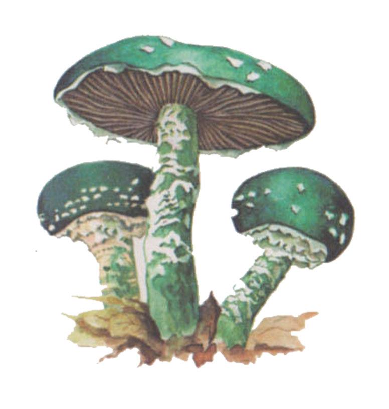 Строфария сине-зелёная (лат. Stropharia aeruginosa)