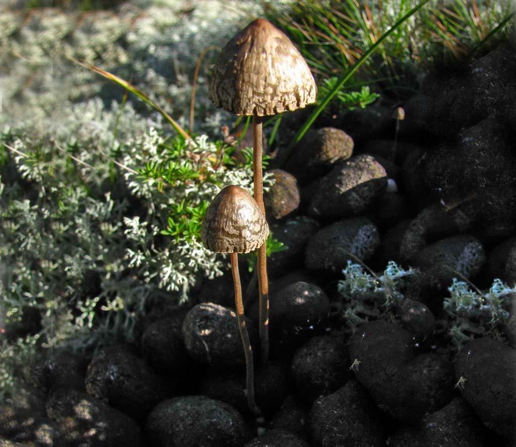 Панеолус навозный, или черный (лат. Panaeolus fimicola)