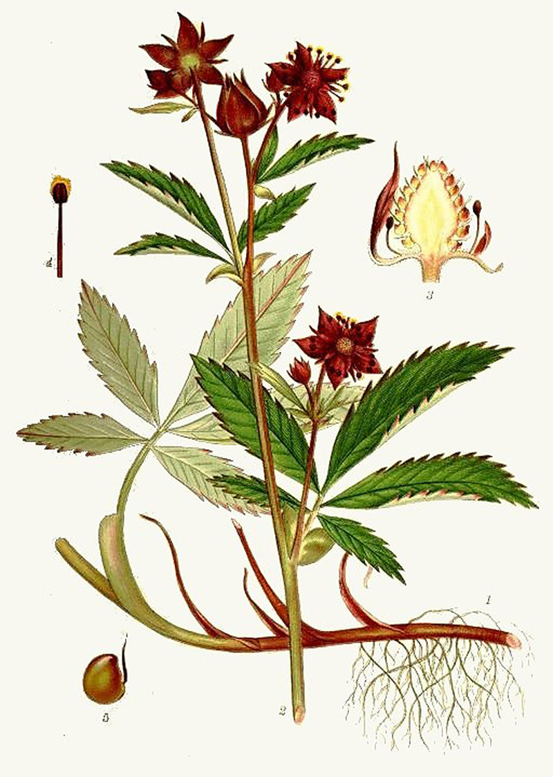 Сабельник болотный (лат. Cómarum palústre)